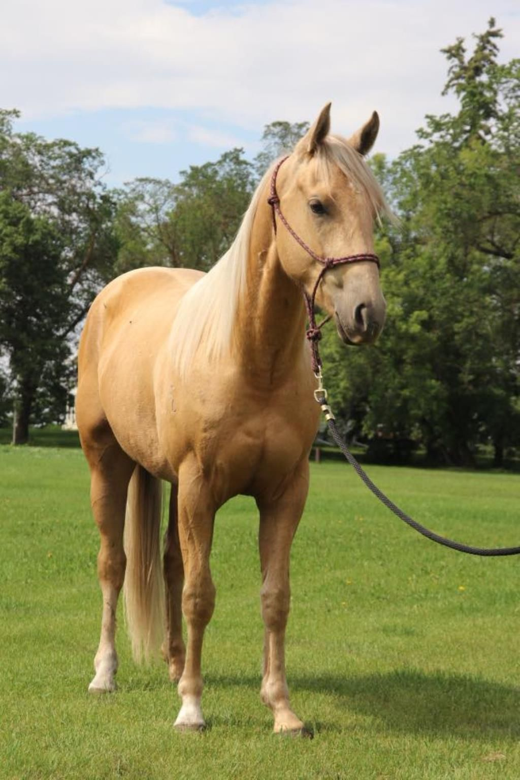 Purely Frosted 2015 Aqha Palomino Gelding For Sale In Alberta Gorgeous Prospect Cbhi Superstakes Eligible And Paid Into Western Fortu Palomino Horses Aqha