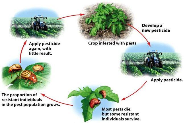The pesticide treadmill Over time, pest populations evolve
