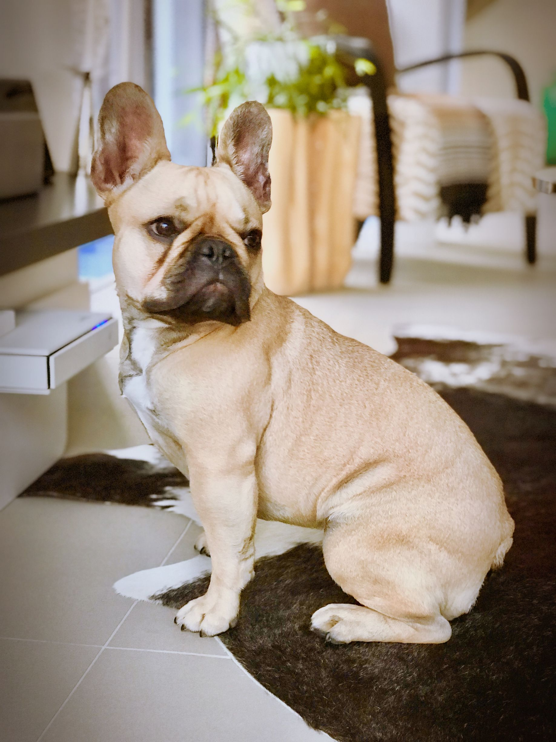 Pin by Travis Yell on French Bulldogs! Fawn french
