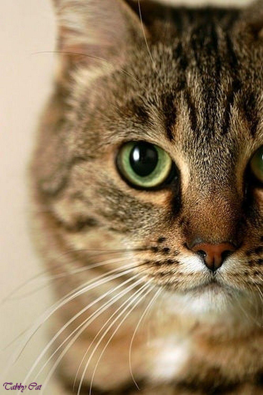 Brown Tabby Cat Orange Tabby Cat With Green Eyes Grey Brown Tabby