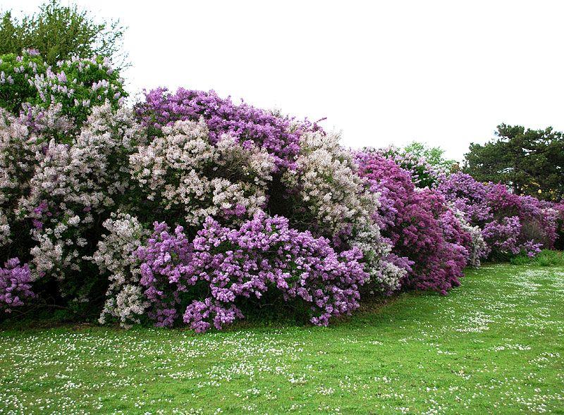 blommande häck buskar