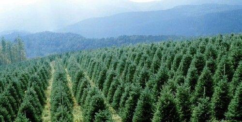 Nc Christmas Tree Farm.Nc Christmas Tree Farm North Carolina Home Sweet Home Christmas