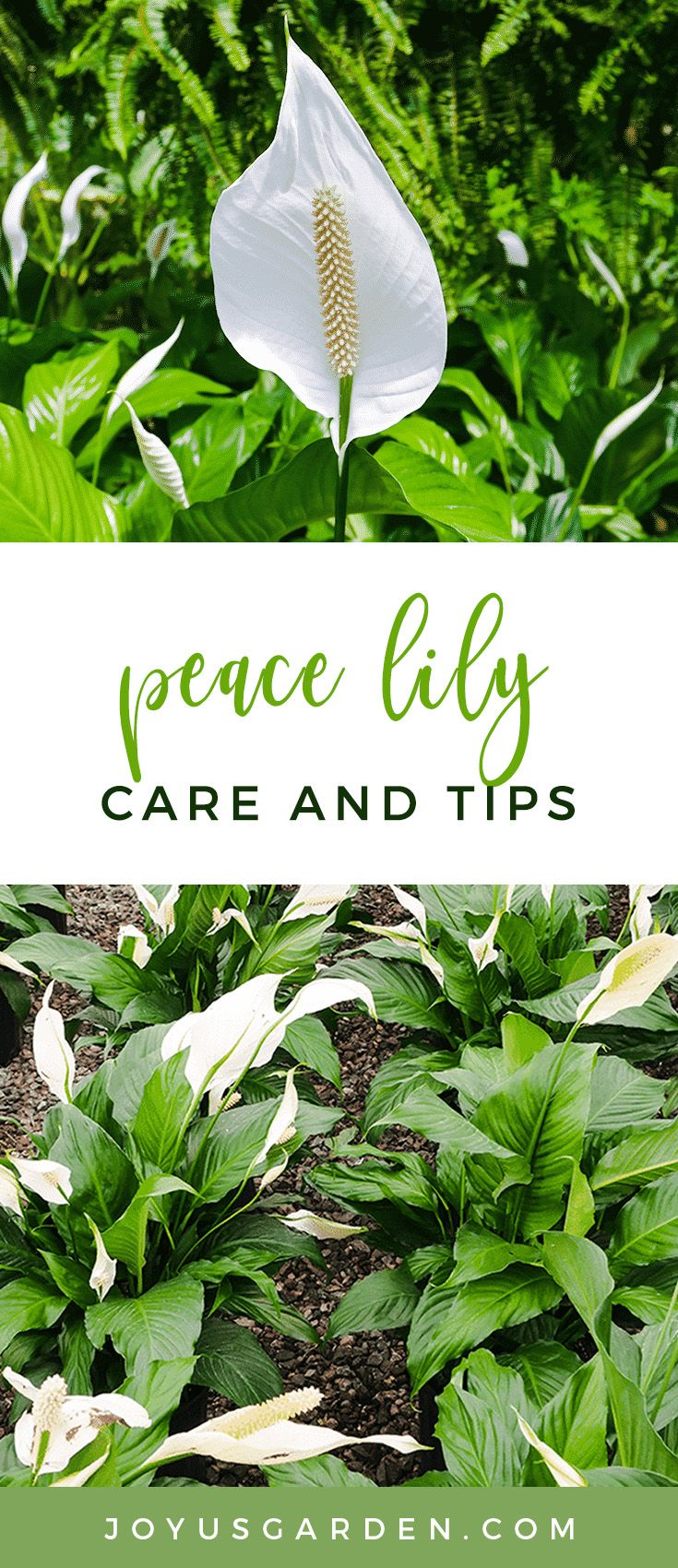 Peace lily care spathiphyllum growing tips peace