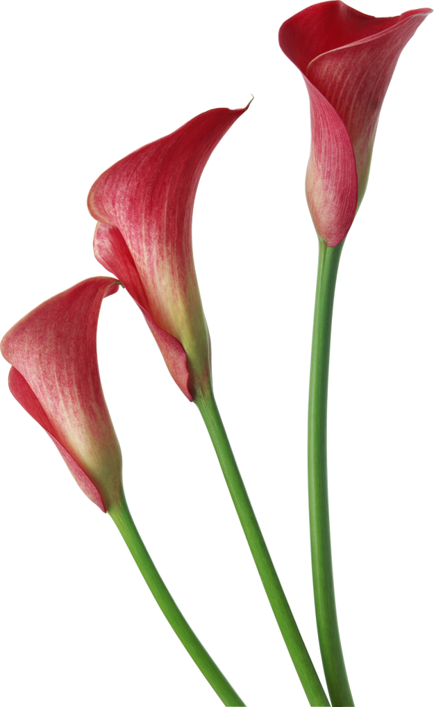 Pin By Svetlana Parmenova On Flowers Calla Lily Flowers Calla Lily Lily Flower