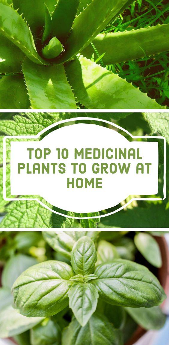 Top 10 Medicinal Plants to Grow at Home – Gardening #herbsgarden