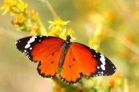 Los insectos (Insecta), son una clase de animales invertebrados, del filo de los artrópodos, caracterizados por presentar un par de antenas, tres pares de patas y dos pares de alas (que, no obstante, pueden reducirse o faltar). La ciencia que estudia los insectos se denomina entomología. #insectos