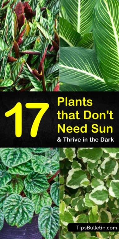17 Amazing Plants that Don't Need Sun and Thrive in the Dark is part of Plants that love shade, Plants that like shade, Cool plants, Plants, Drought tolerant plants, Shade plants - Learn about the best plants that don't need sun for your lowlight homes  Grow a gorgeous garden without sunlight with our handy guide