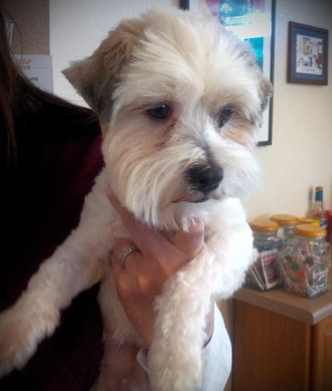Adopt A Dog A Lhasa Apso Mix And A German Shepherd Dog Adoption