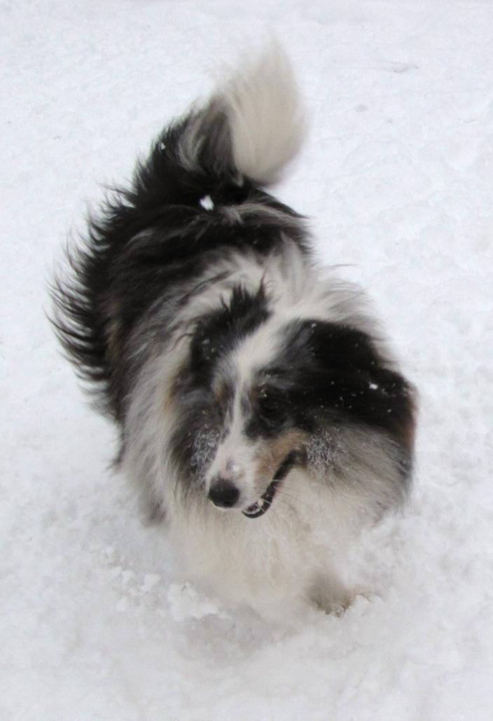 Atwater Sheltie Blessings Shetland Sheepdog Puppies Ny Sheep Dog Puppy Shetland Sheepdog Puppies Shetland Sheepdog