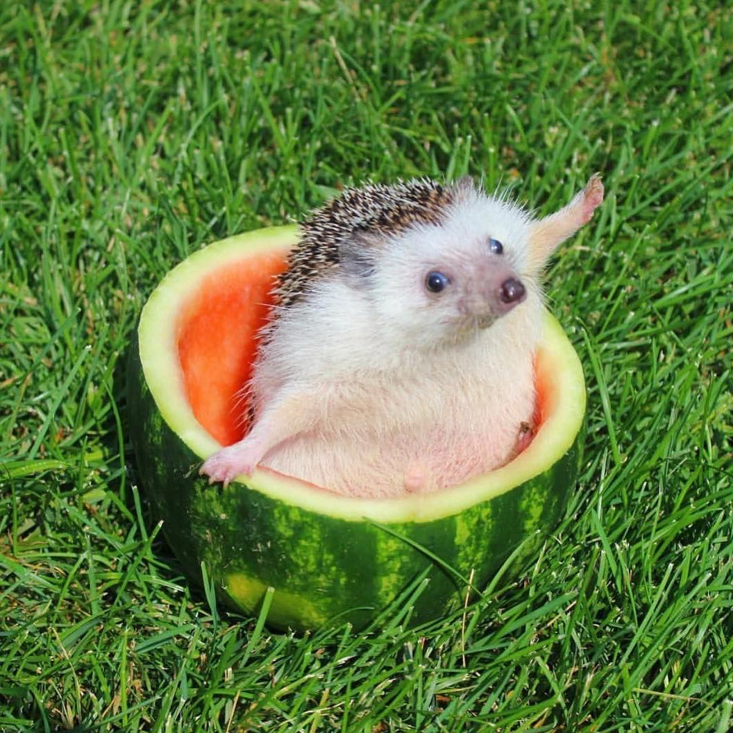 Happy Monday! Here's a hedgehog in a watermelon to start