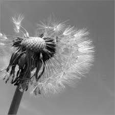 Image result for black and white pusteblume