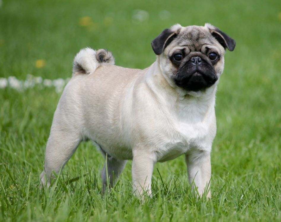 Buy White Chinchilla Pug Puppies Online Pet Fiester Pug
