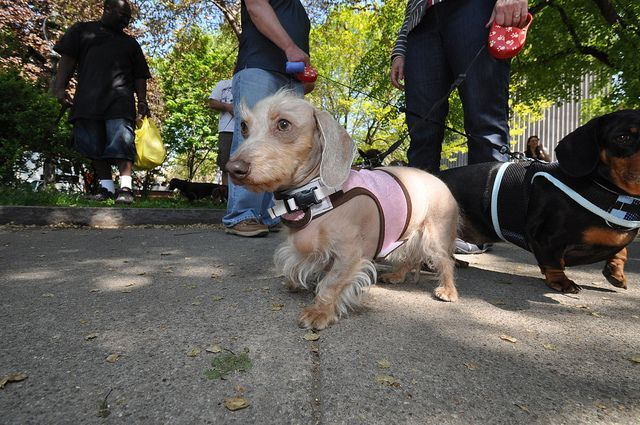 Dachshund Parade Rochester Ny Puppiesrochesterny Puppies And