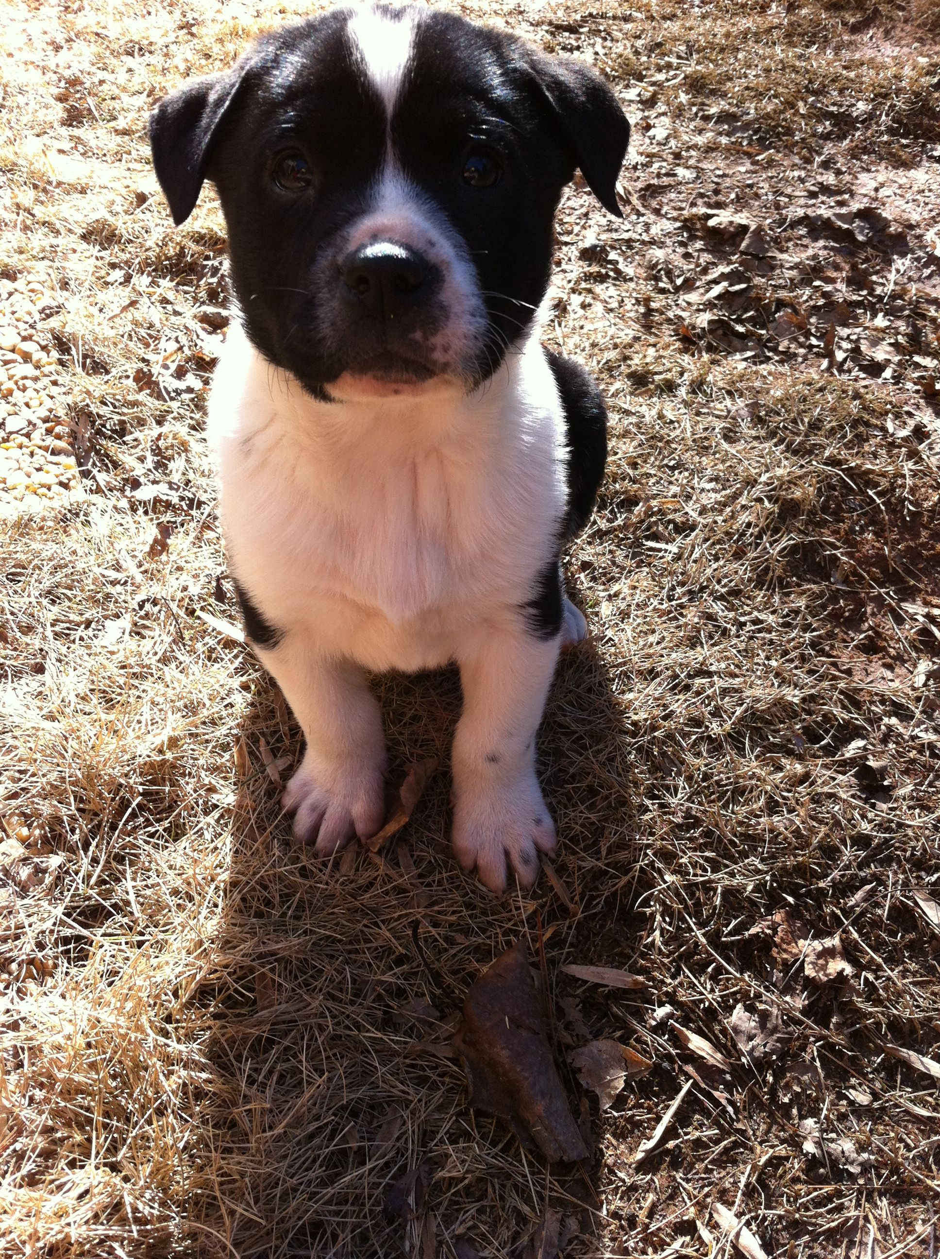 Meet Bradshaw An Adorable Lab Border Collie Mix That Was Rescued
