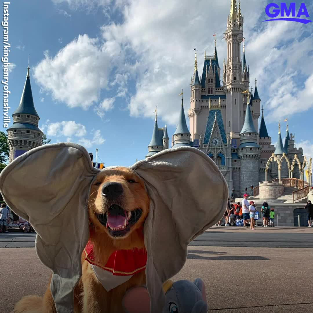 This Service Dog Took The Cutest Trip To Walt Disney World Video Video Service Dogs Disney Dogs Psychiatric Service Dog