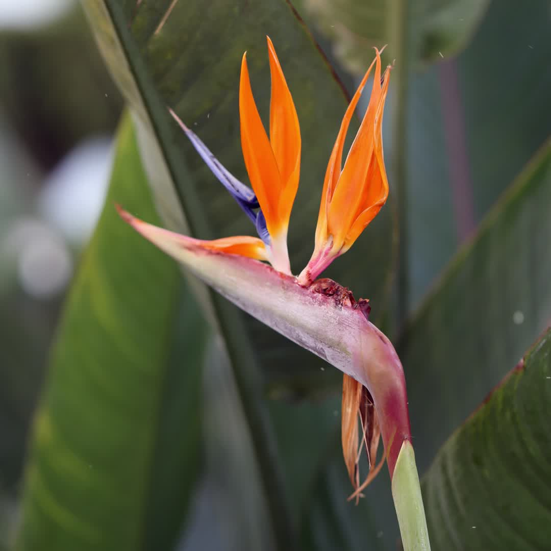 Bird Of Paradise Flower Definition And Synonyms Of Bird Of Paradise Flower In The English Dictionary