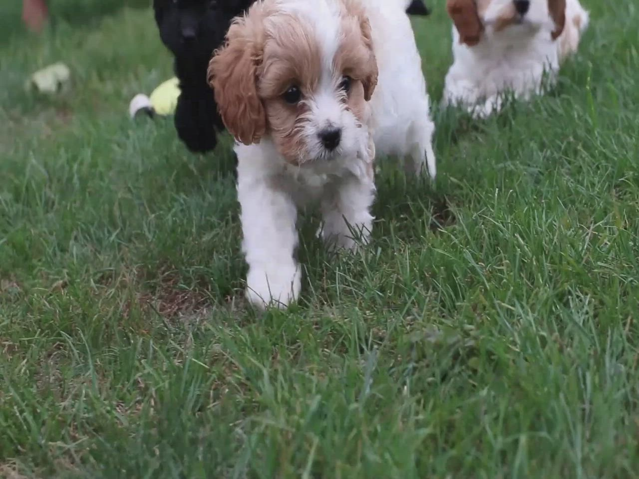 Add A New Member In Your Family It Is A Little Puppy Puppiesforsaleinbrisbane Yes You Read It Right Puppies For Sale Maltese Poodle Puppies Fluffy Puppies