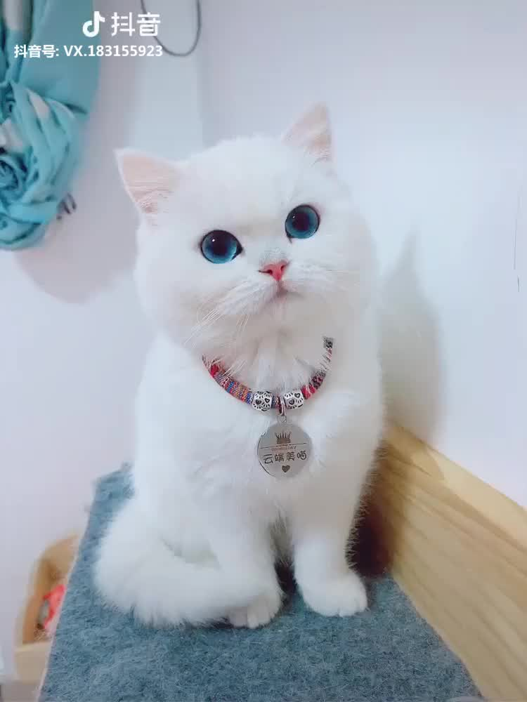 Soooo Cute Cat Tiktok Cutecat Pet Pets Video Cute Cat Gif