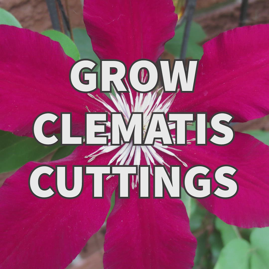 How To Grow Clematis From Cuttings Empress Of Dirt Video Video Clematis Vine Clematis Clematis Plants