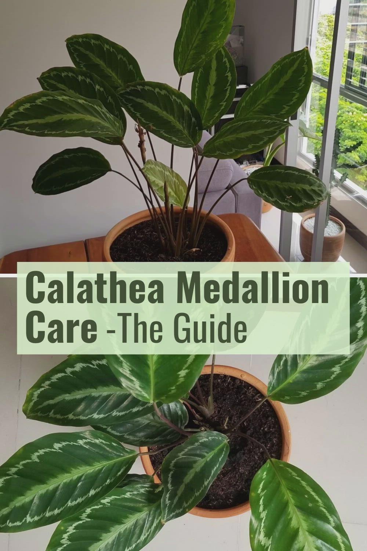 Calathea Medallion Care Video Plants Calathea Plant Calathea