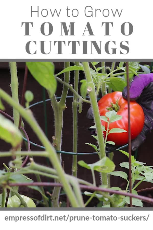 Watch How To Prune Tomatoes And Grow New Plants From Cuttings