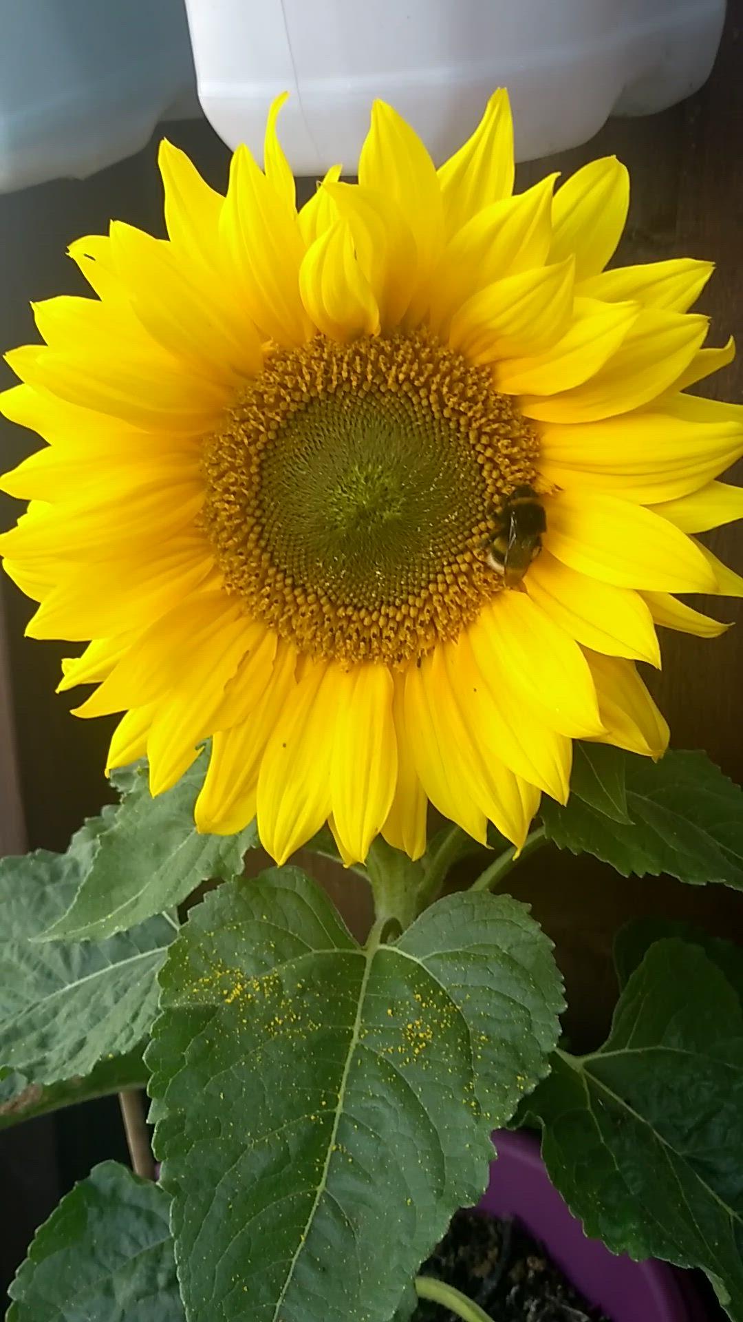 How To Grow Sunflowers On My Balcony