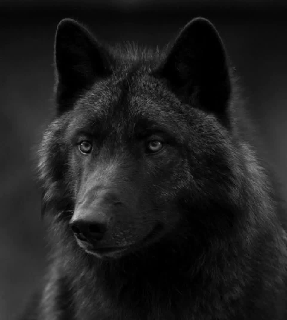 безумно благодарна, черно белое фото волка многих есть