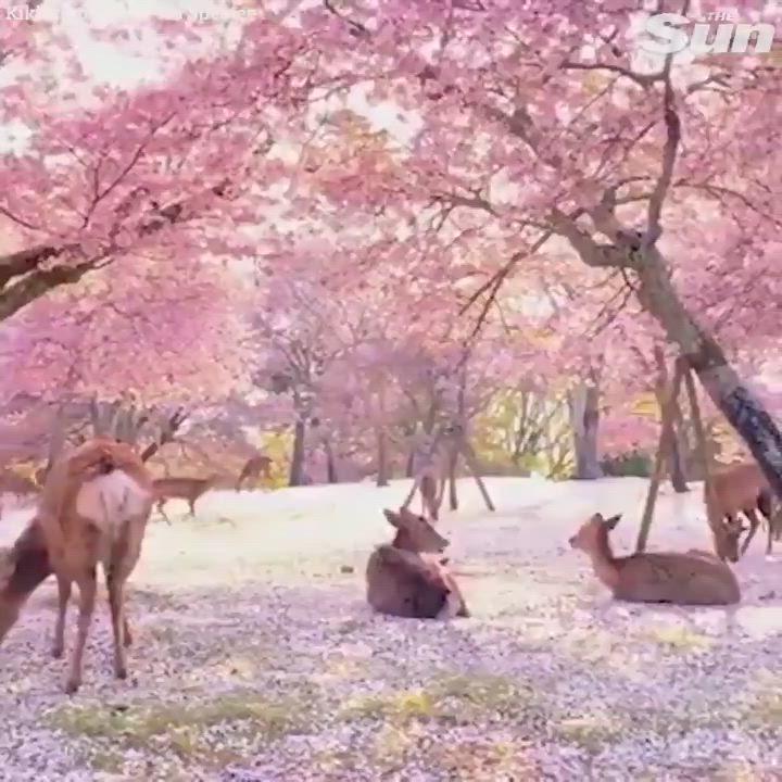 Deer Enjoy Cherry Blossoms In An Empty Park In Nara Japan Video Cherry Blossom Japan Japanese Nature Japan Sakura