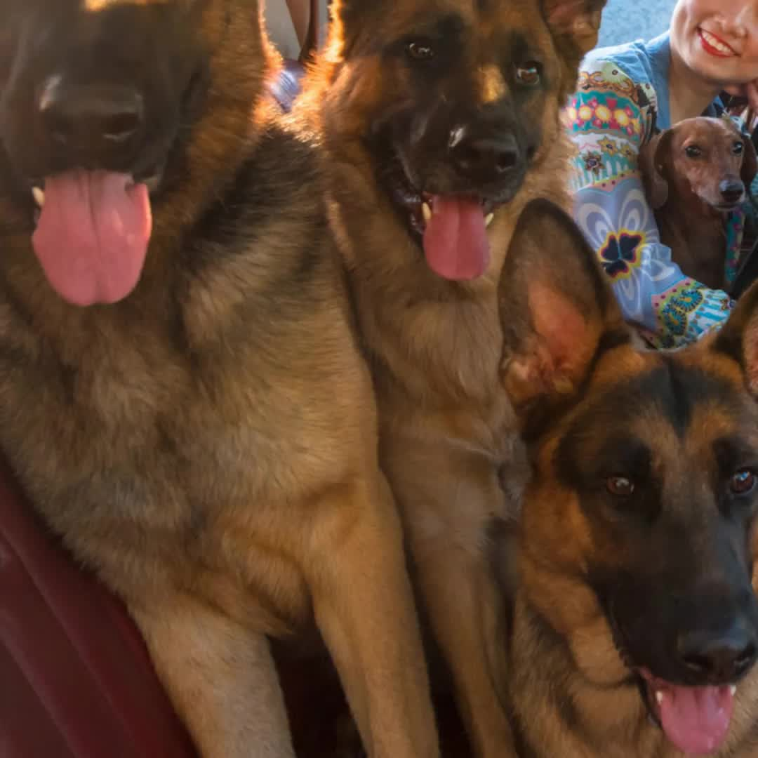 Pin By World German Shepherds On World German Shepherds Houston