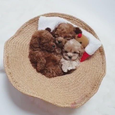 Teacup Cream Maltipoo Video Teacup Puppies Maltipoo Puppy Cute Teacup Puppies