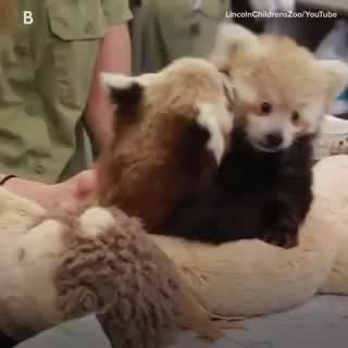 Proof That Baby Red Pandas Are Too Cute To Handle Video Cute Animal Videos Cute Animals Funny Animal Videos