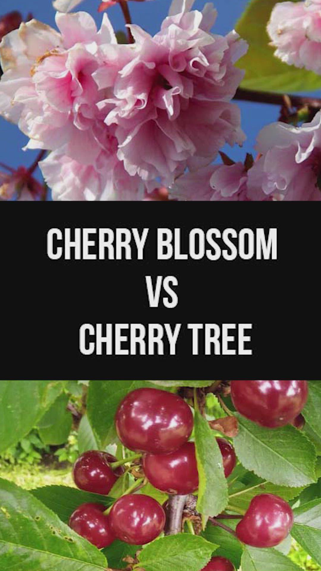 Cherry Blossom Vs Cherry Tree Flowers Or Fruits Video Garden Types Cherry Tree Tree